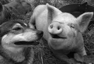 Dogs n Pigs2